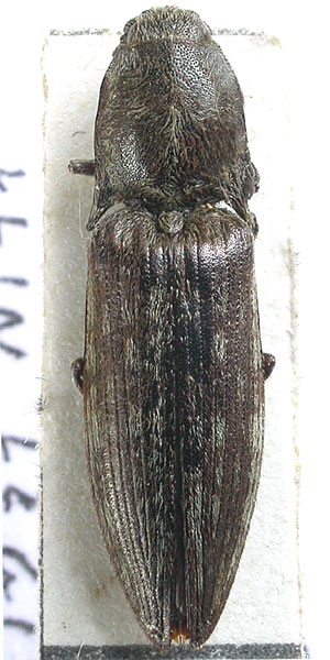 Actenicerus alternatus