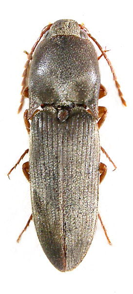 Aeoloides grisescens