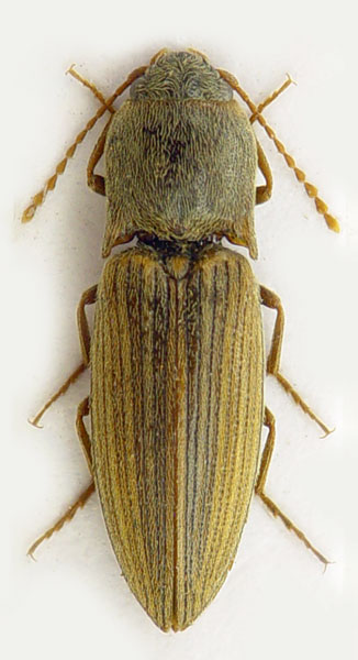 Agriotes lineatus