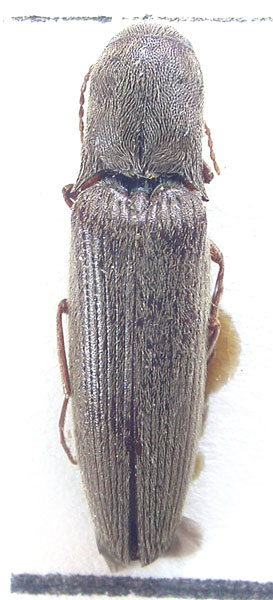 Agriotes weishanensis