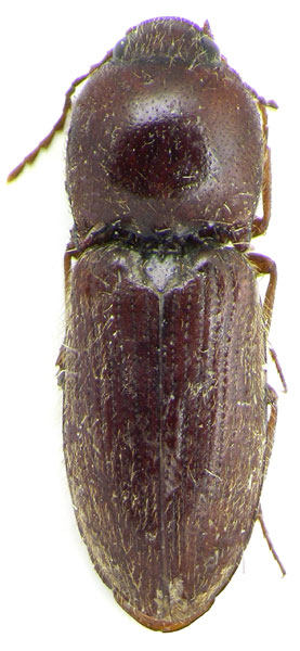 Craspedostethus ferrugineus